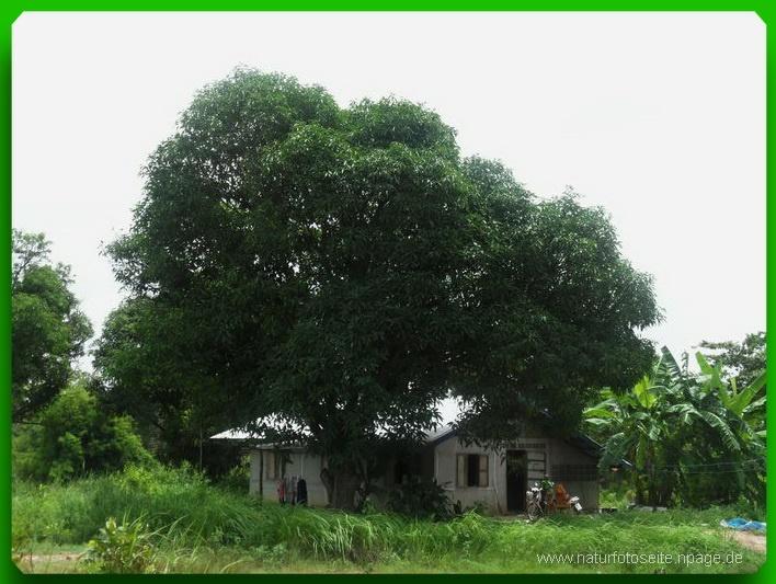 grosser grüner Baum beschattet Haus