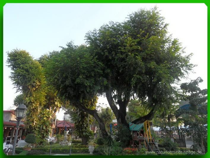 grosser Baum mit vielen dicken ästen