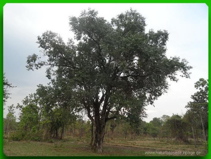 ausgelichteter Baum
