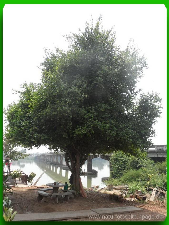 grosser grüner Baum mit kurzem Stamm