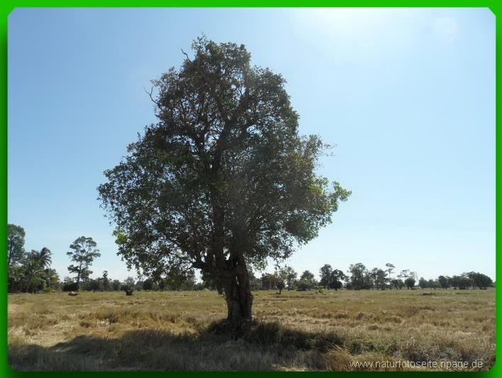 Baum steht alleine im Reisfeld
