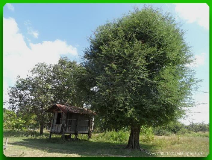 grosser grüner Baum mit Holzhütte