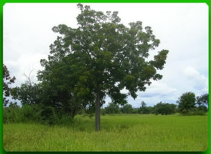Baum steht im Reisfeld