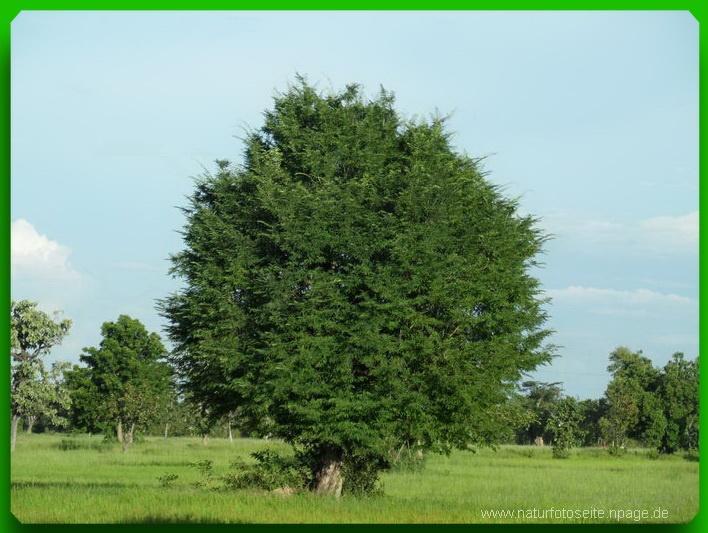 grosse grüne Baumkrone auf kurzem Stamm