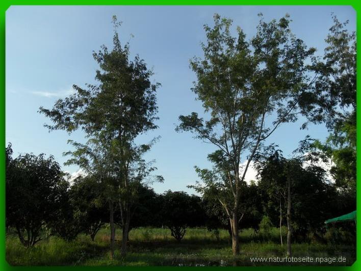 kleine dünne Bäume