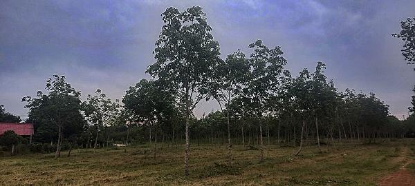 Gummibaumfeld statt urwald