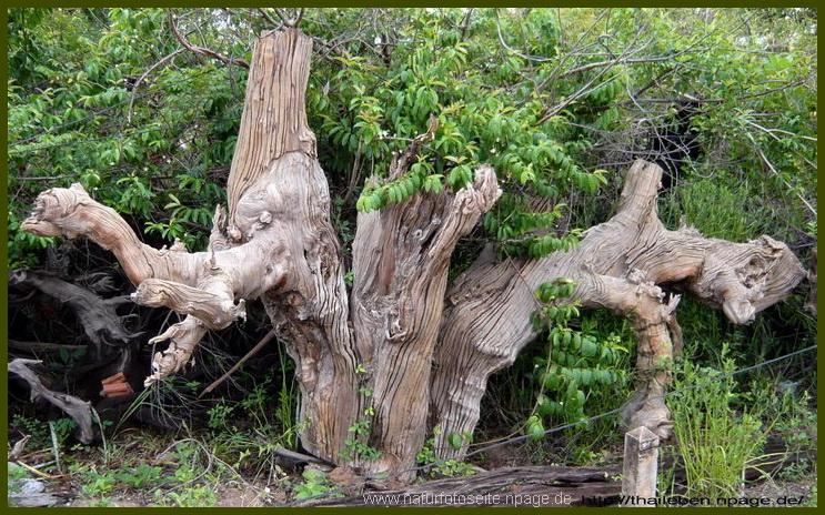 niederstammbaum als wurzelgebilde