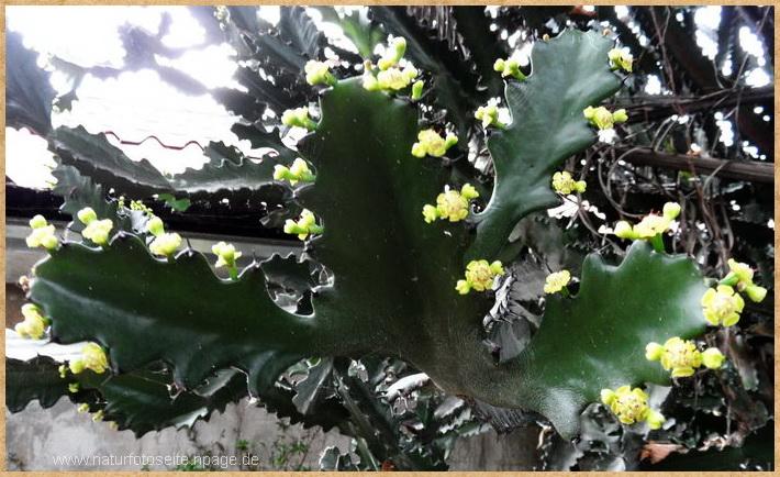gelb blühender kaktus