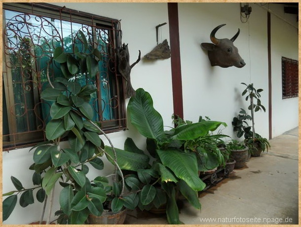 auswahl gummibaum zimmerpflanzen draussen an der wand