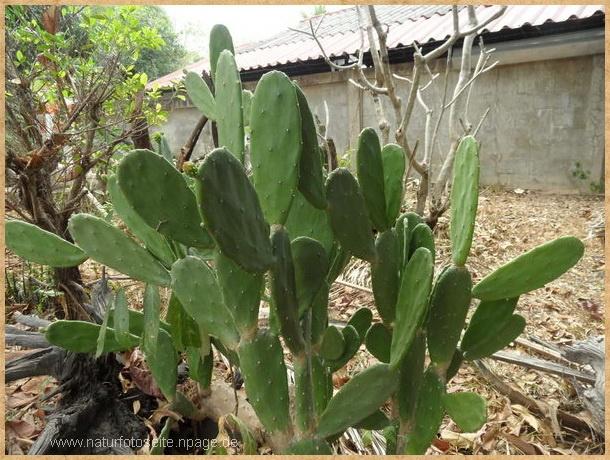 Kaktus im garten